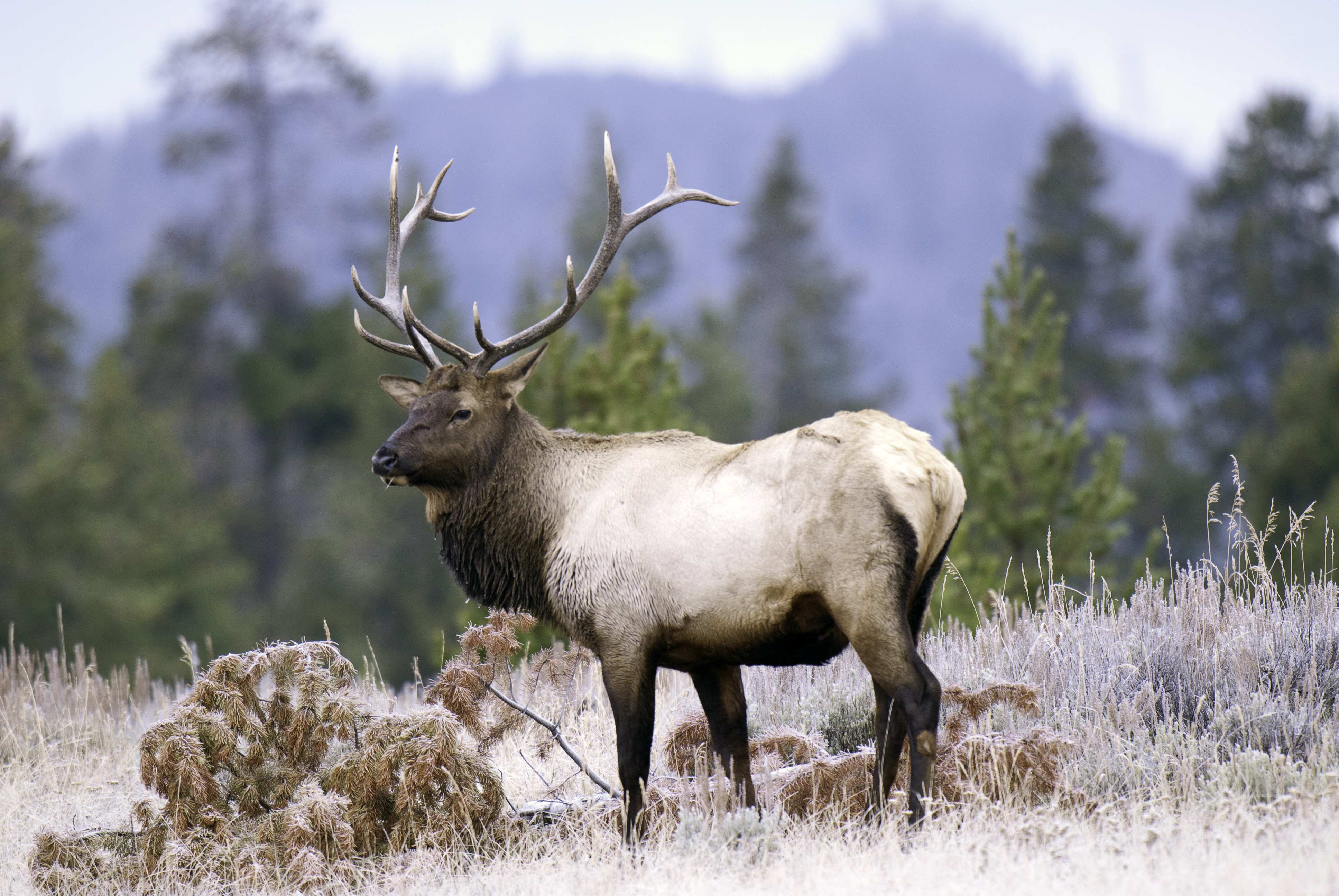 Applications to hunt elk and other big game are now being accepted. Photo Courtesy Division of Wildlife Resources