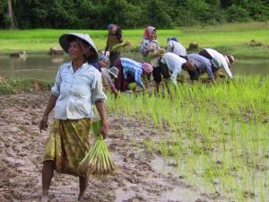 Women in Indonesia harvest plants from muddy fields. [photo taken by BYU Professor Chad Emmett]