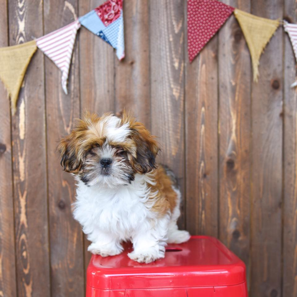 A Shih Tzu  puppy advertised for $850 dollars at Puppy Barn in American Fork, Utah. (Puppy Barn/Facebook)