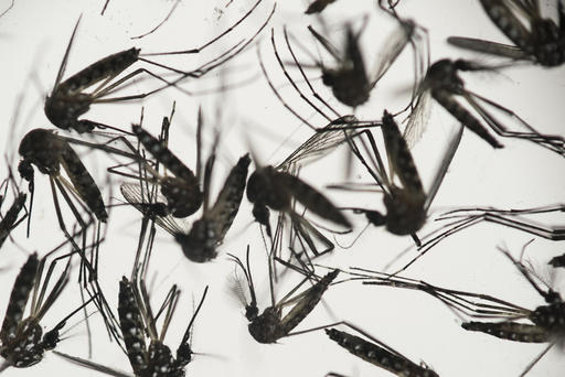 FILE - In this Jan. 27, 2016, file photo, samples of Aedes aegypti mosquitoes, responsible for transmitting dengue and Zika, sit in a petri dish at the Fiocruz Institute in Recife, Pernambuco state, Brazil. A civilian contract worker has become the first person with a confirmed case of Zika on the U.S. base at Guantanamo Bay, Cuba, after being diagnosed with the mosquito-borne virus following a trip to Jamaica, the Navy said Friday, July 22, 2016. (AP Photo/Felipe Dana, File)