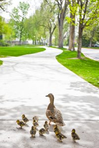 A mother duck with her chick waddle down a BYU campus sidewalk. (Maddi Driggs)