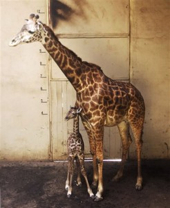 A newborn baby giraffe stands with its mother, Audrey, in Santa Barbara, Calif. The unnamed Masai giraffe was born Saturday, March 26. (Santa Barbara Zoo via Associated Press)