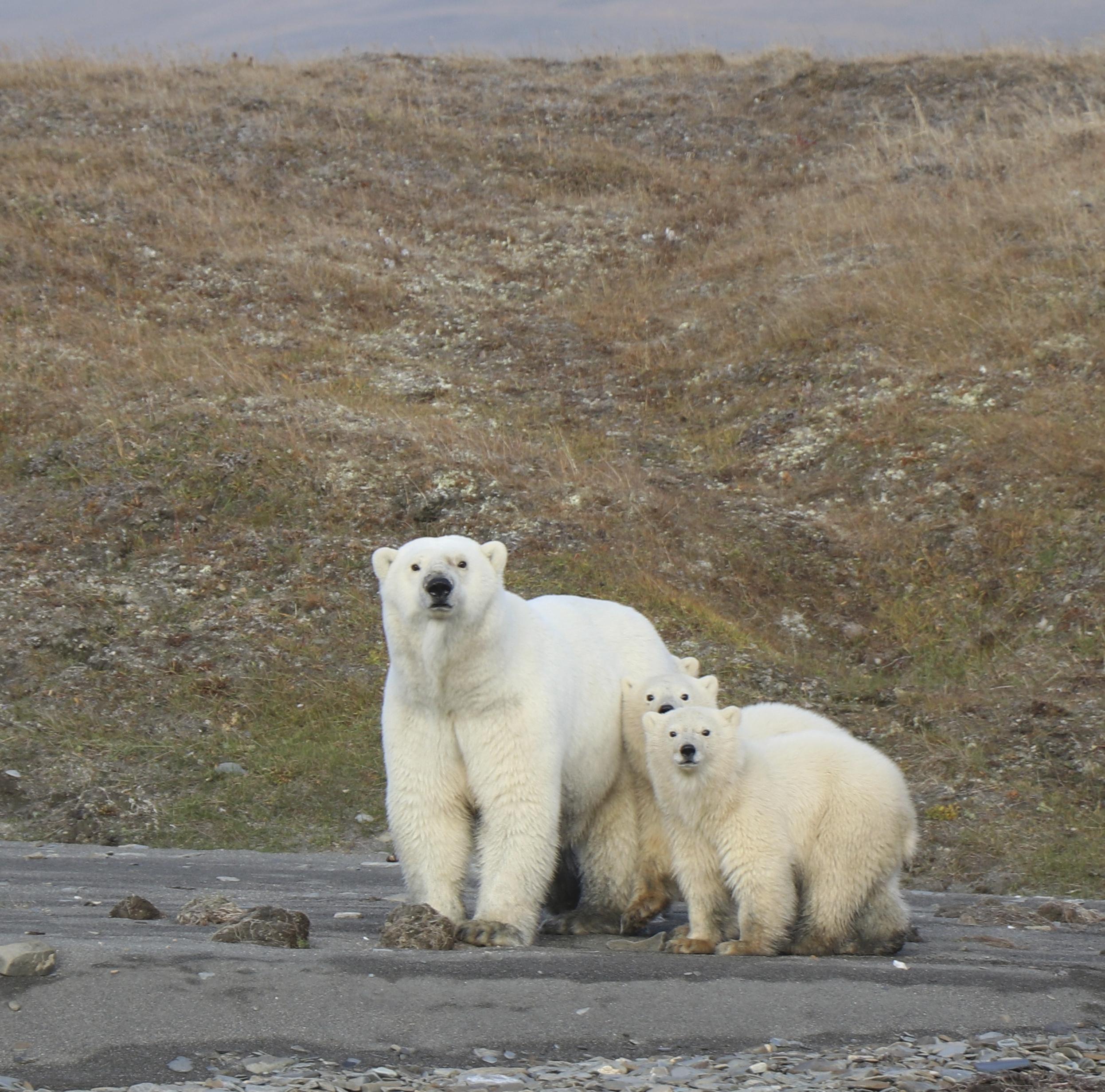 Study finds healthy group of polar bears in sea near Alaska