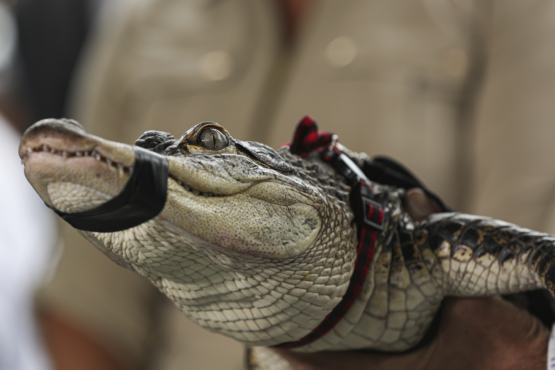 Florida expert captures elusive alligator at Chicago lagoon - The